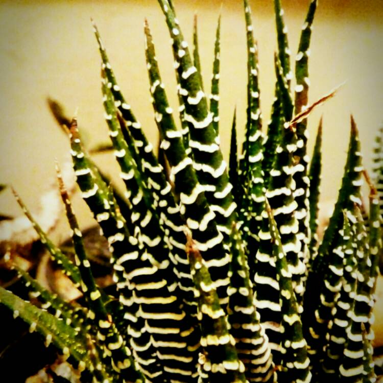 Plant image Haworthia Fasciata 'Big Band'