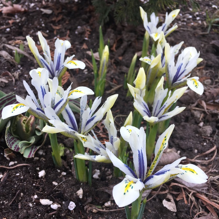 Plant image Iris 'Eye Catcher' syn. Iris reticulata 'Eye Catcher'
