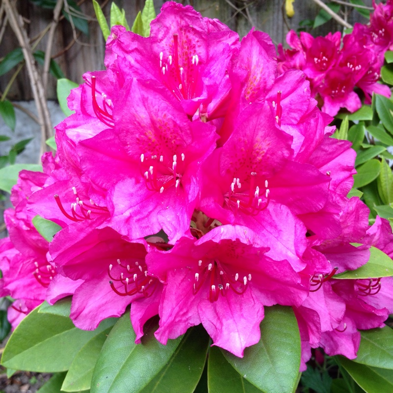 Rhododendron 'Dr H.C Dresselhuys'