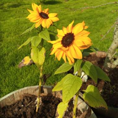 Sunflower 'Little Dorrit'