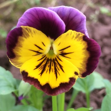 Viola x wittrockiana 'Historic Florist Pansies Mixed'