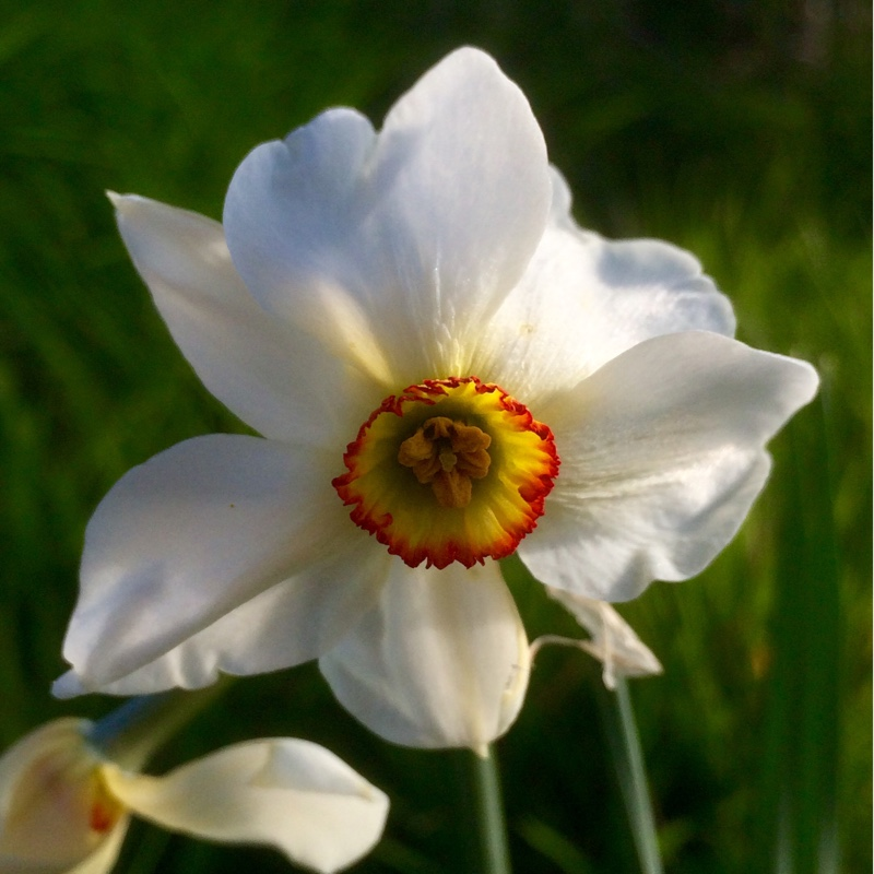 Plant image Narcissus 'Ornatus Maximus' syn. Narcissus 'White Fairy'