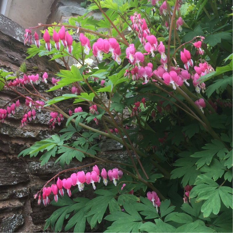 Plant image Lamprocapnos spectabilis syn. Dicentra spectabilis (unknown variety)