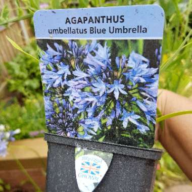 African Lily 'Blue Umbrella'