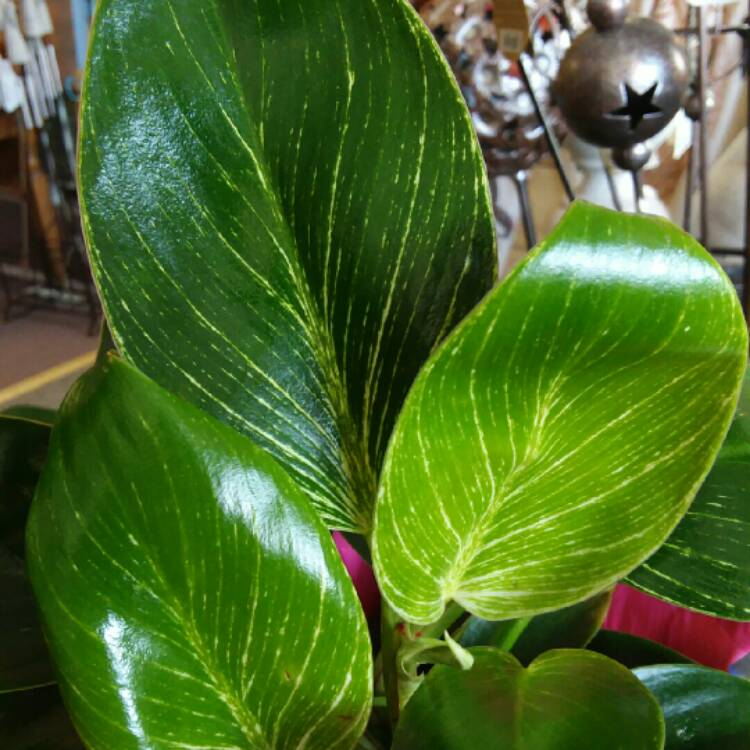 Plant image Philodendron Birkin