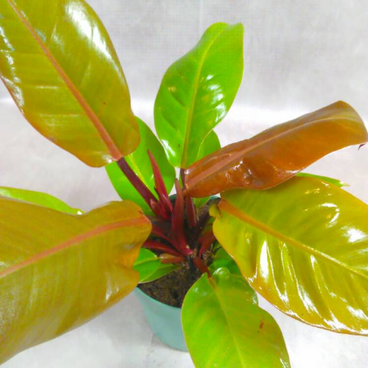Plant image Philodendron 'Prince of Orange' syn. Philodendron 'Orange Prince'