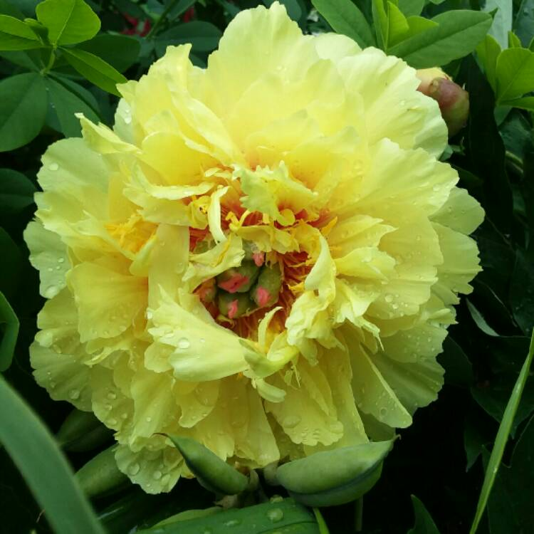 Paeonia Garden Treasure Peony Garden Treasure