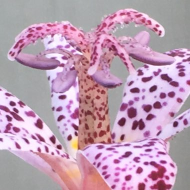 Toad Lily 'Dark Beauty'