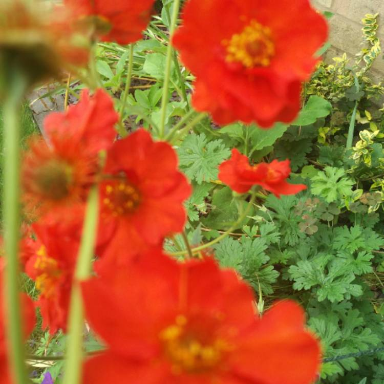Plant image Geum coccineum 'Queen of Orange'
