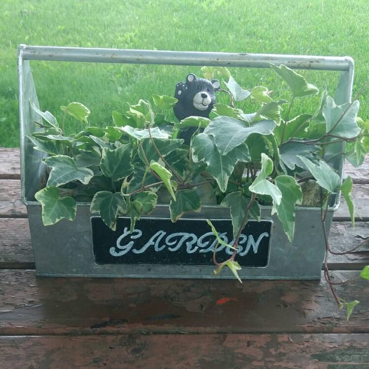 Plant image Hedera