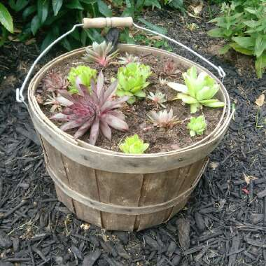 Sempervivum (Unknown Variety)