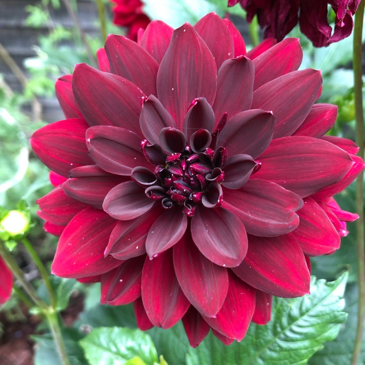 Plant image Dahlia 'Arabian Night'