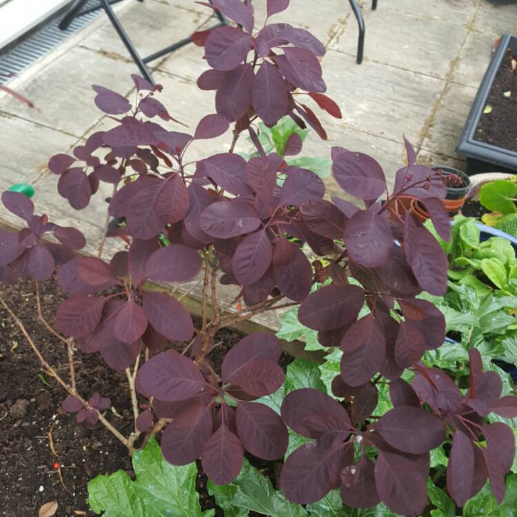 Plant image Cotinus coggygria 'Royal Purple'