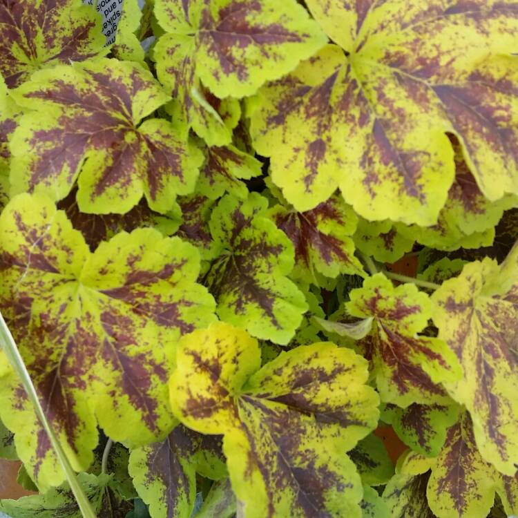 Plant image x Heucherella 'Solar Power'