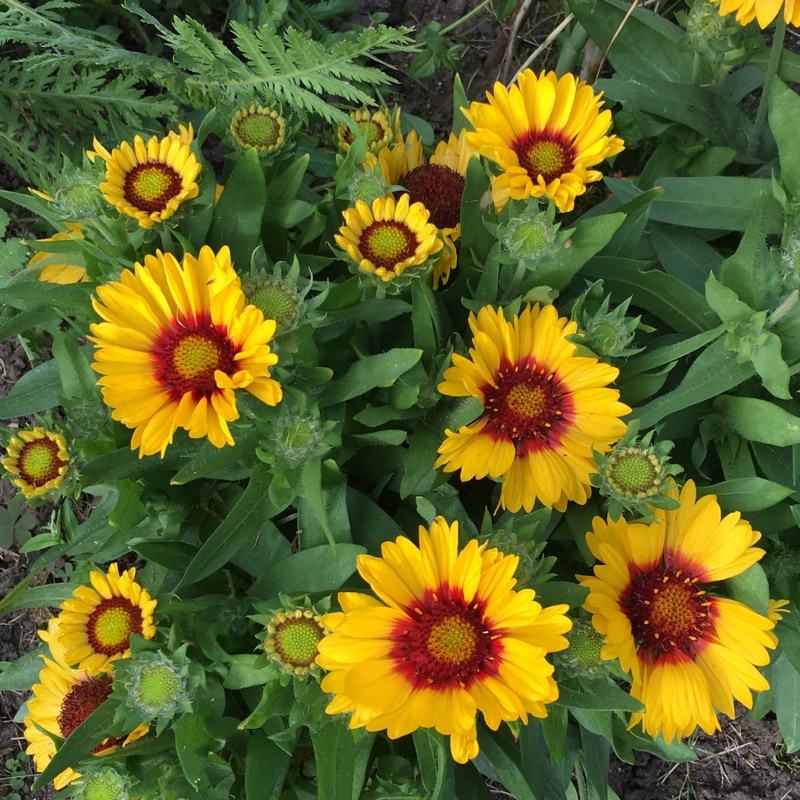 Blanket Flower 'Arizona Sun'