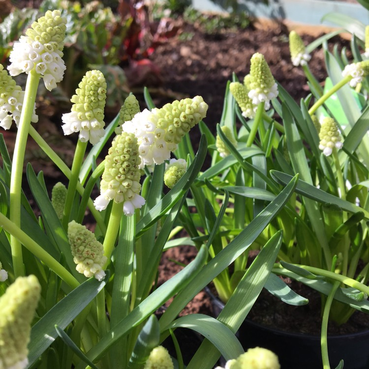 Plant image Muscari aucheri 'White Magic'