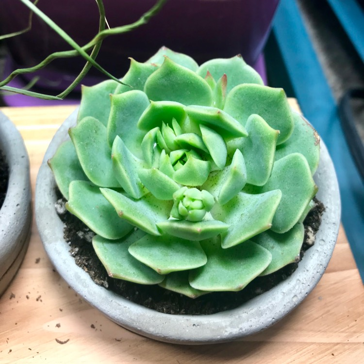 Plant image Echeveria Lime n Chile
