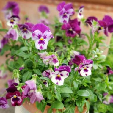 Pansy 'Cool Wave'