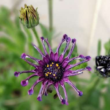 African Daisy 'Power Packed Spider Purple'