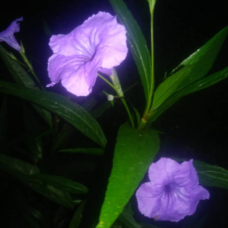 Plant image Ruellia brittoniana 'Purple Showers'