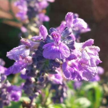 Mealy-cup Sage