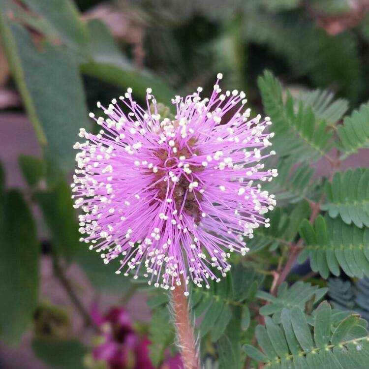 Plant image Mimosa pudica