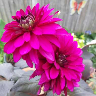 Dahlia 'Purple Flame'