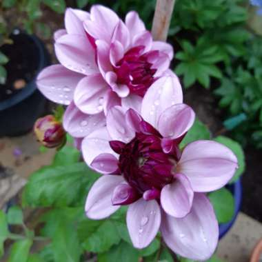 Dahlia 'Creme De Cassis' (Decorative)