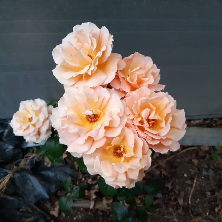 Plant image Rosa 'Indian Summer'
