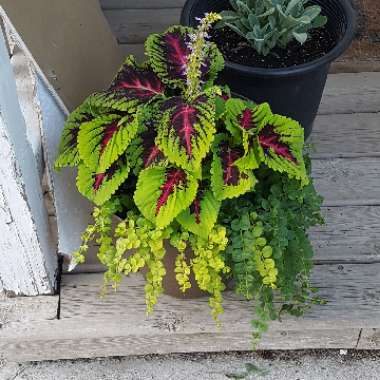 Coleus 'Kong Red'