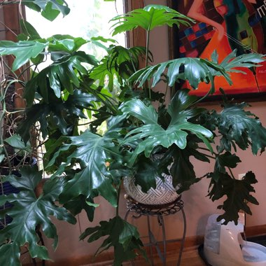 Tree Philodendron