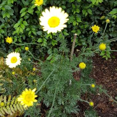 Canary marguerite