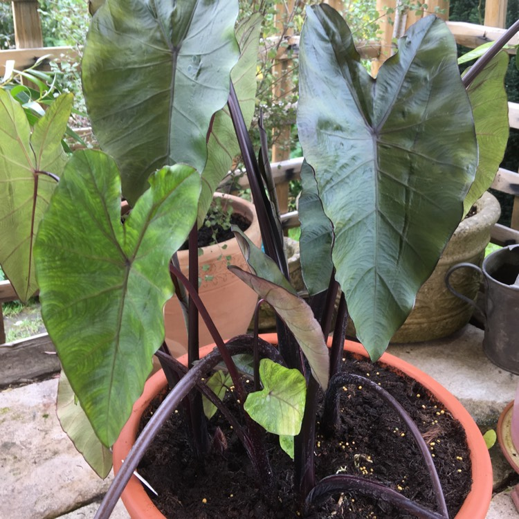 Plant image Colocasia esculenta 'Black Magic'