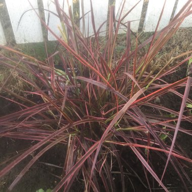 Fountain Grass 'Fireworks'