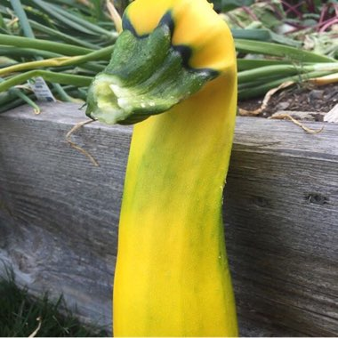 Squash 'Yellow Scallop'