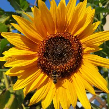 Giant Sunflower (Dwarf)  'Sunspot'