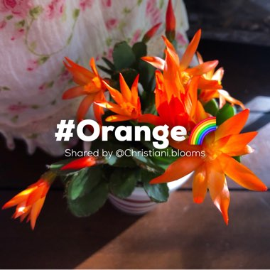 Orange Easter Cactus 'Colomba'