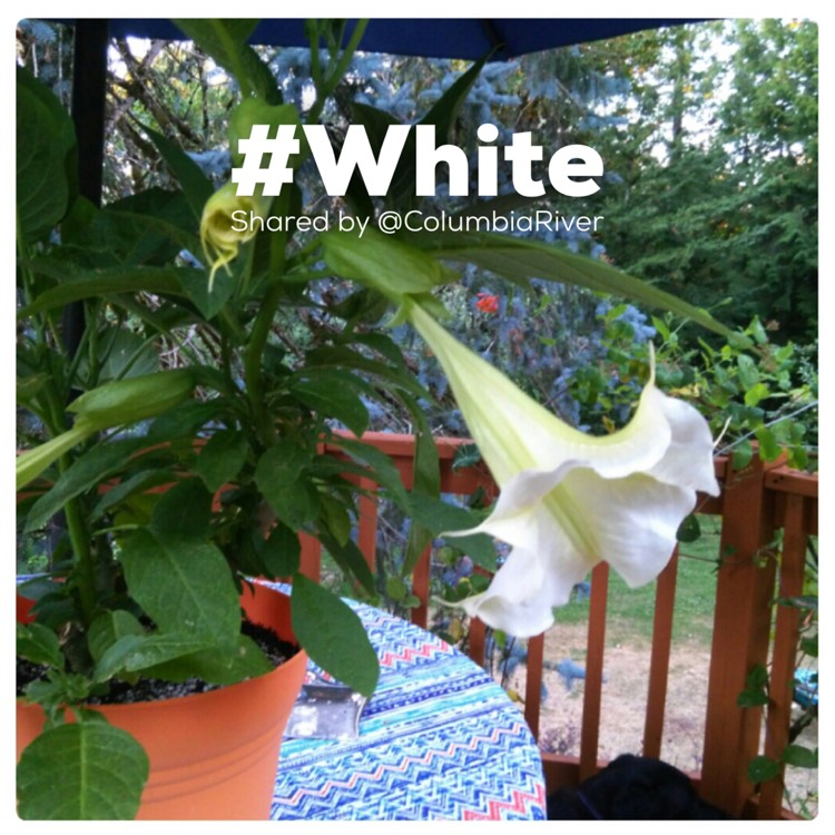 Plant image Brugmansia 'Betty Marshall'