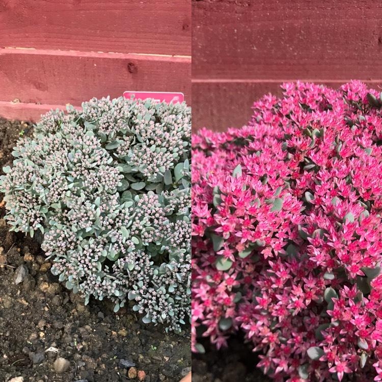 Plant Image Sedum Rose Carpet