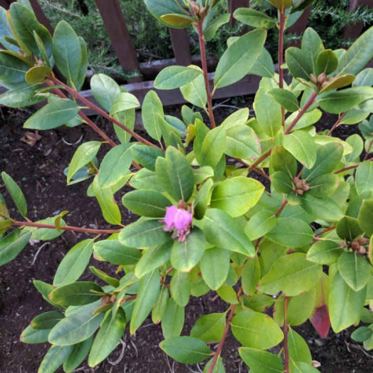 Plant image Rhododendron 'Ramapo'