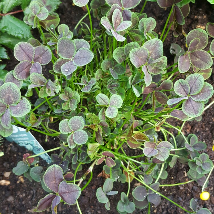 Purple-leaved Clover