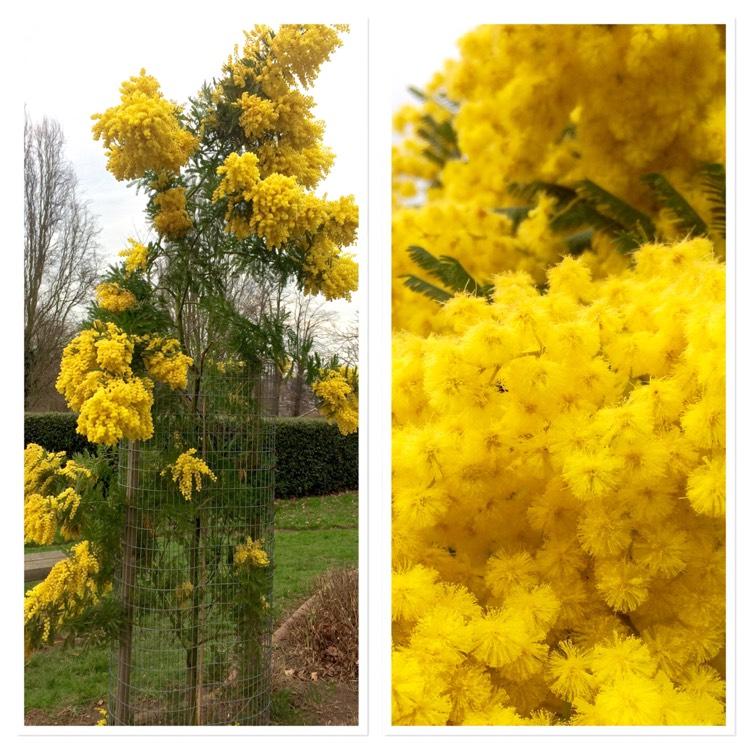 Acacia Dealbata Gaulois Astier Mimosa Gaulois Astier Uploaded