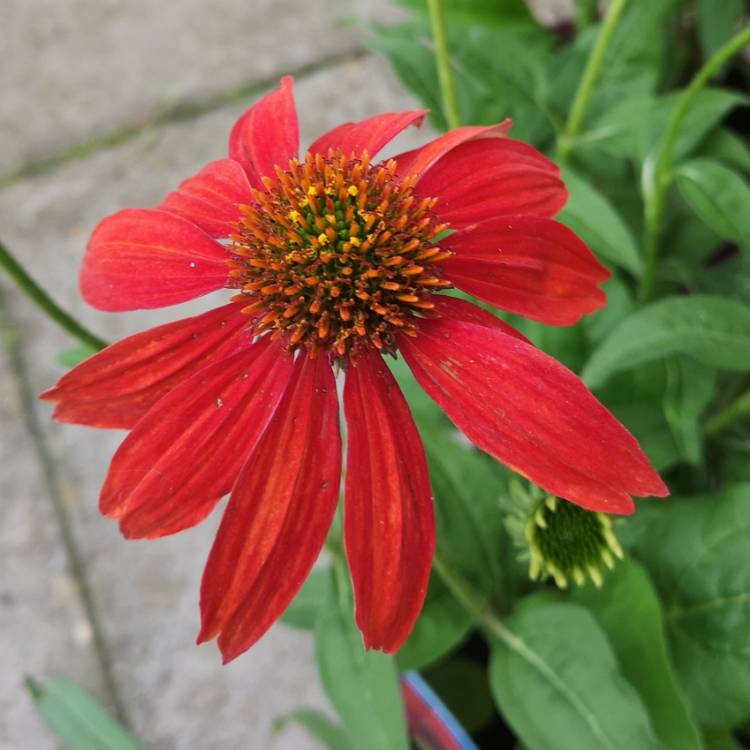 Plant image Echinacea 'Balsomsed' (Sombrero Series) syn. Echinacea 'Sombrero Salsa Red'