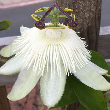 Passion flower 'Constance Elliot'