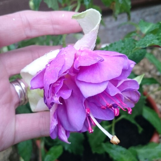 Plant image Fuchsia 'Blue Angel'