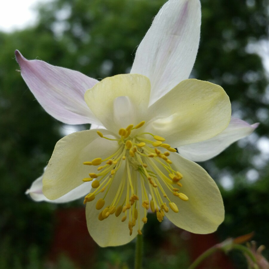 Plant image Aquilegia 'Swan Pink and Yellow'