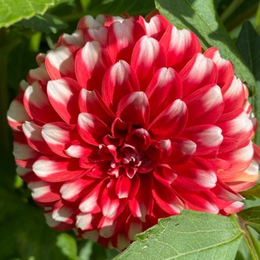 Dahlia 'Fire And Ice'