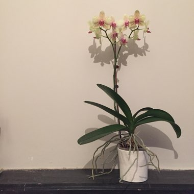 Moth Orchid (Unknown Variety)
