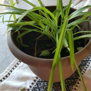 Spider Plant 'Lemon'
