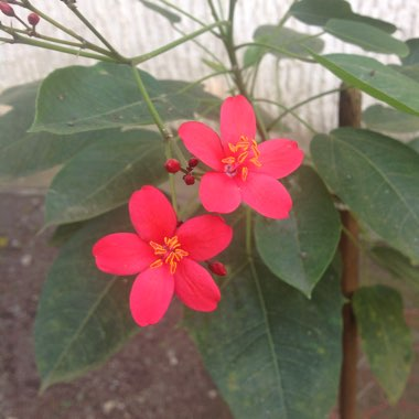 Spicy Jatropha